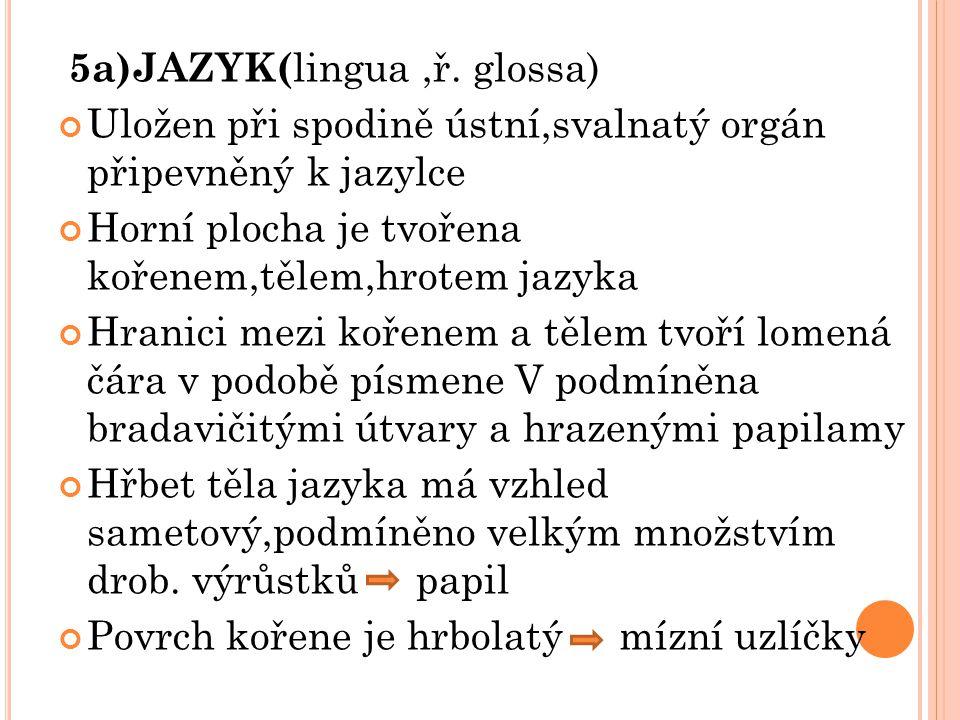 5a)JAZYK( lingua,ř. glossa) Uložen při spodině ústní,svalnatý orgán připevněný k jazylce Horní plocha je tvořena kořenem,tělem,hrotem jazyka Hranici m