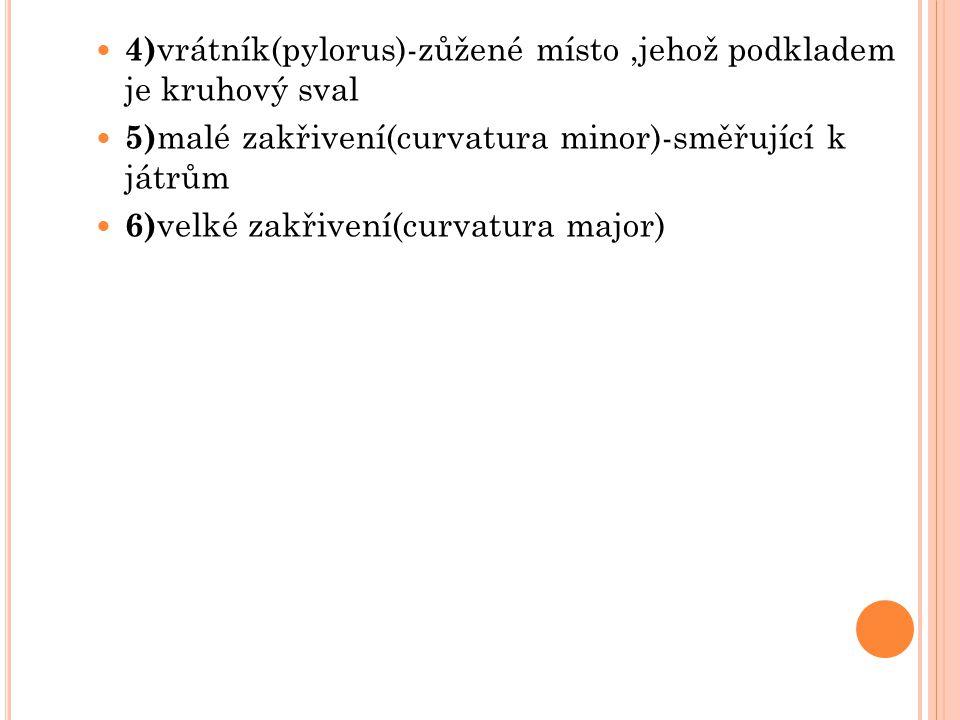 4) vrátník(pylorus)-zůžené místo,jehož podkladem je kruhový sval 5) malé zakřivení(curvatura minor)-směřující k játrům 6) velké zakřivení(curvatura ma
