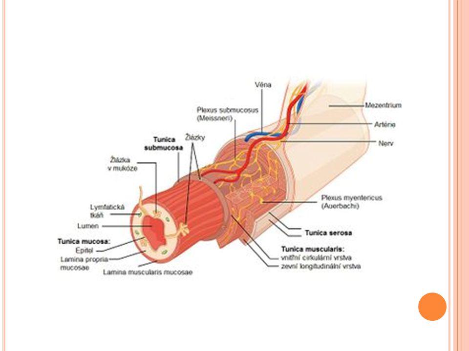 """Sliznice je bez klků,obsahuje však velké množství pohárkových bb.,produkujících hlen usnadňuji pohyb obsahu ST více hustější dochází k resorpci vody SLEPÉ STŘEVO(caecum) Uloženo v pravé jámě kyčelní,pod vyústěním kyčelníku opatřeno chlopní ileoceakální,která dovoluje průchod stolice jen jedním směrem v ST je mnoho bakterií Na svém dolním konci vybíhá v červovitý výběžek(apendix vermiformis) o délce 6 cm,obsahuje velké množství mízních uzlíčků- nazýván """"břišní mandle"""