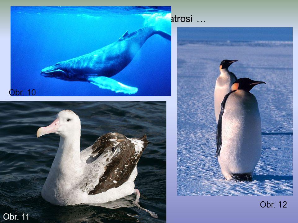 Živočichové: tučňáci, kytovci, albatrosi … Obr. 10 Obr. 11 Obr. 12