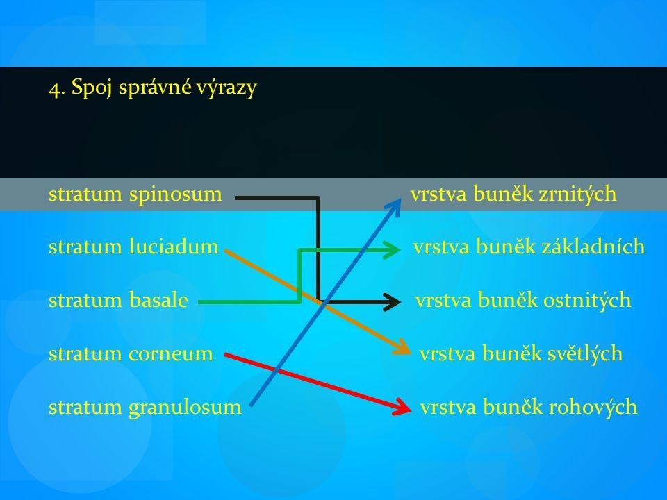 4. Spoj správné výrazy stratum spinosum vrstva buněk zrnitých stratum luciadum vrstva buněk základních stratum basale vrstva buněk ostnitých stratum c