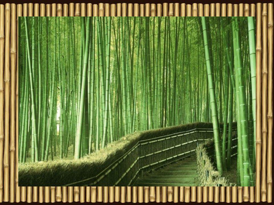 Ve volné přírodě bambus pokrývá úbočí vysokým, hustým, zvlněným zeleným porostem, kterému se často říká
