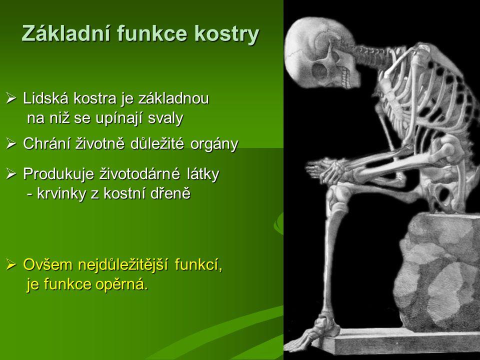 Základní funkce kostry  Chrání životně důležité orgány  Produkuje životodárné látky - krvinky z kostní dřeně - krvinky z kostní dřeně  Ovšem nejdůležitější funkcí, je funkce opěrná.