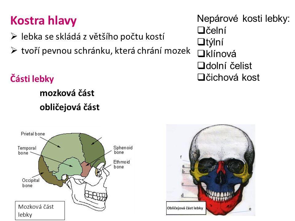 Mozková část lebky Nepárové kosti lebky:  čelní  týlní  klínová  dolní čelist  čichová kost