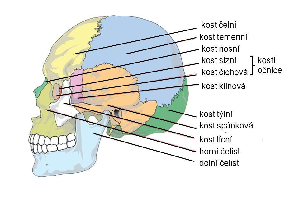 kost čelní kost temenní kost nosní kost slzní kost týlní kost spánková kost lícní horní čelist dolní čelist kost klínová kost čichová kosti očnice