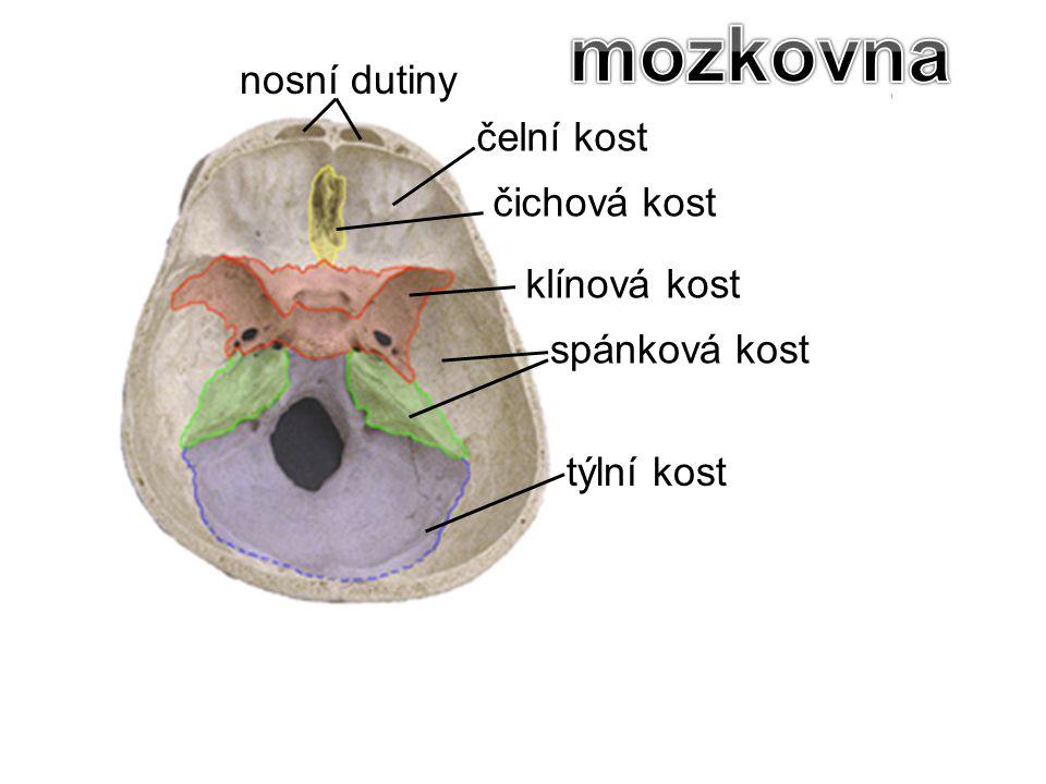 čelní kost čichová kost spánková kost klínová kost týlní kost nosní dutiny