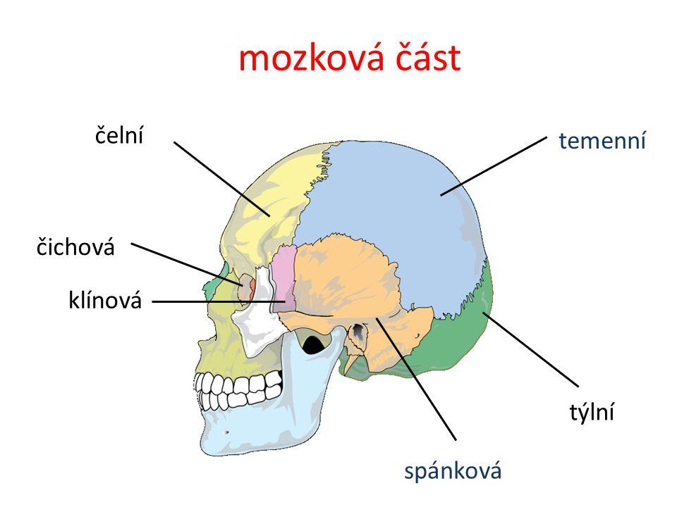 týlní temenní čelní mozková část klínová spánková čichová