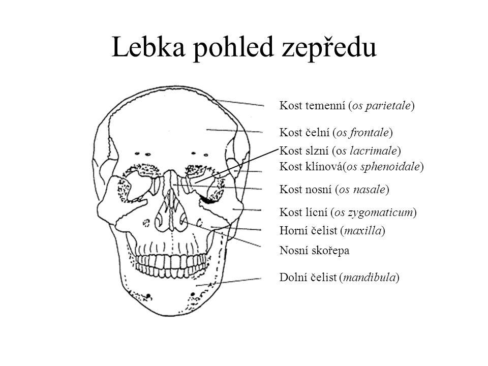 Lebka pohled z boku Kost temenní (os parietale) Kost čelní (os frontale) Kost klínová(os sphenoidale) Kost nosní (os nasale) Kost lícní (os zygomaticum) Horní čelist (maxilla) Dolní čelist (mandibula) Kost spánková (os temporale) Kost tylní (os occipitale) Jazylka (os hyoideum) Jařmový oblouk (arcus zygomaticus) Korunní šev Šípový šev Lambdový šev Šupinový šev Bradavkový výběžek (processus mastoideus) Bodcovitý výběžek (p.