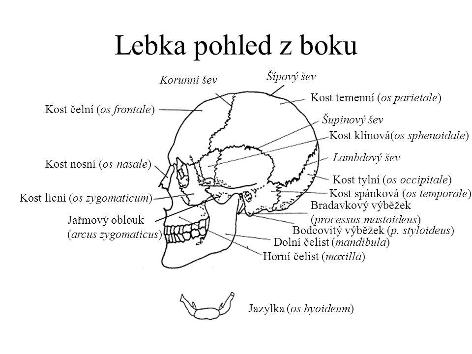 Lebka pohled z boku Kost temenní (os parietale) Kost čelní (os frontale) Kost klínová(os sphenoidale) Kost nosní (os nasale) Kost lícní (os zygomaticu