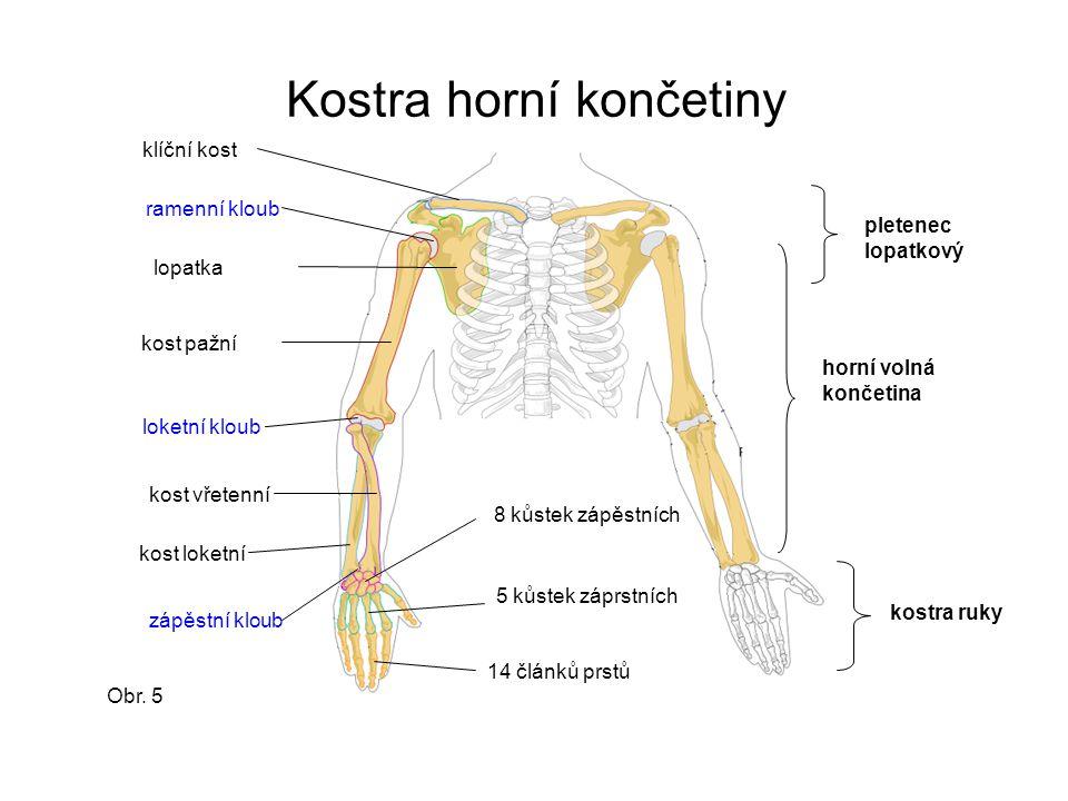 Kostra horní končetiny klíční kost lopatka kost pažní kost loketní kost vřetenní loketní kloub 8 kůstek zápěstních 5 kůstek záprstních 14 článků prstů