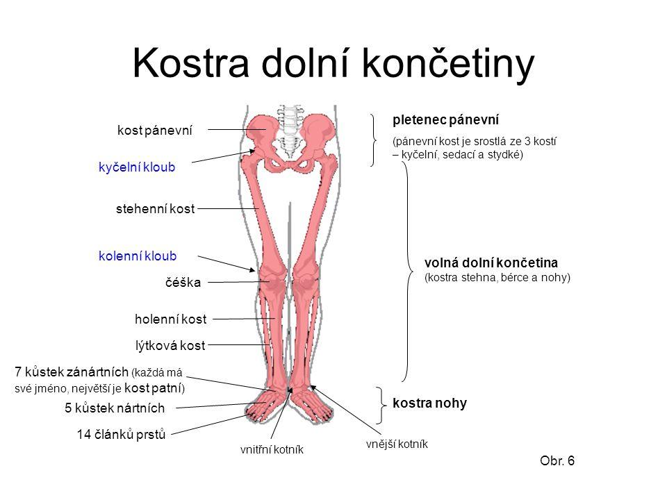 Kostra dolní končetiny kost pánevní stehenní kost holenní kost lýtková kost čéška kyčelní kloub kolenní kloub vnější kotník vnitřní kotník pletenec pá
