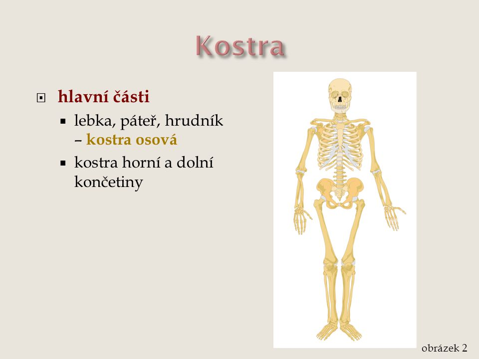  hlavní části  lebka, páteř, hrudník – kostra osová  kostra horní a dolní končetiny obrázek 2