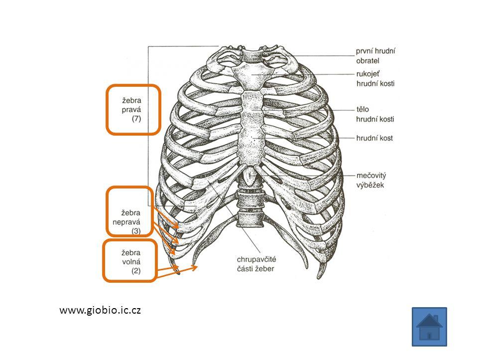 Kostra lebky Kosti lebky chrání mozek, čidla zraku, sluchu, rovnováhy a čichu Kosti jsou spojeny švy a dolní čelist je připojená kloubem Je rozdělena na část obličejovou a mozkovou U novorozenců nejsou některé kosti srostlé, srůstají během prvního roku – může snadno dojít k poranění mozku!!.