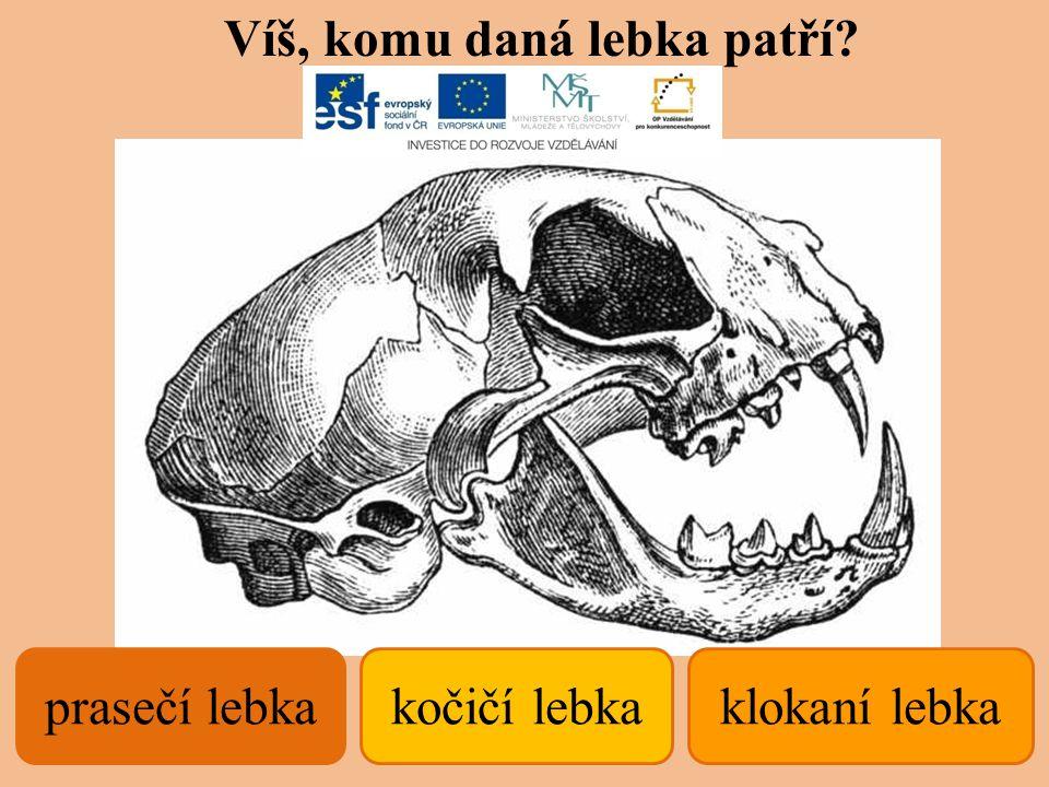 kočičí lebka Víš, komu daná lebka patří? klokaní lebkaprasečí lebka