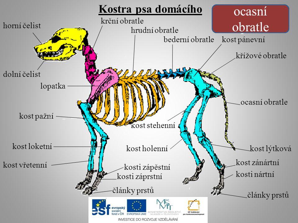 Kostra psa domácího horní čelist dolní čelist horní čelist dolní čelistkrční obratle lopatka hrudní obratle bederní obratle kost pánevní kost pažní ko