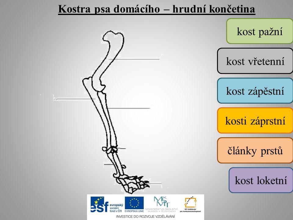 Kostra psa domácího – hrudní končetina kost pažní kost vřetenní kost loketní kost zápěstní kosti záprstní články prstů