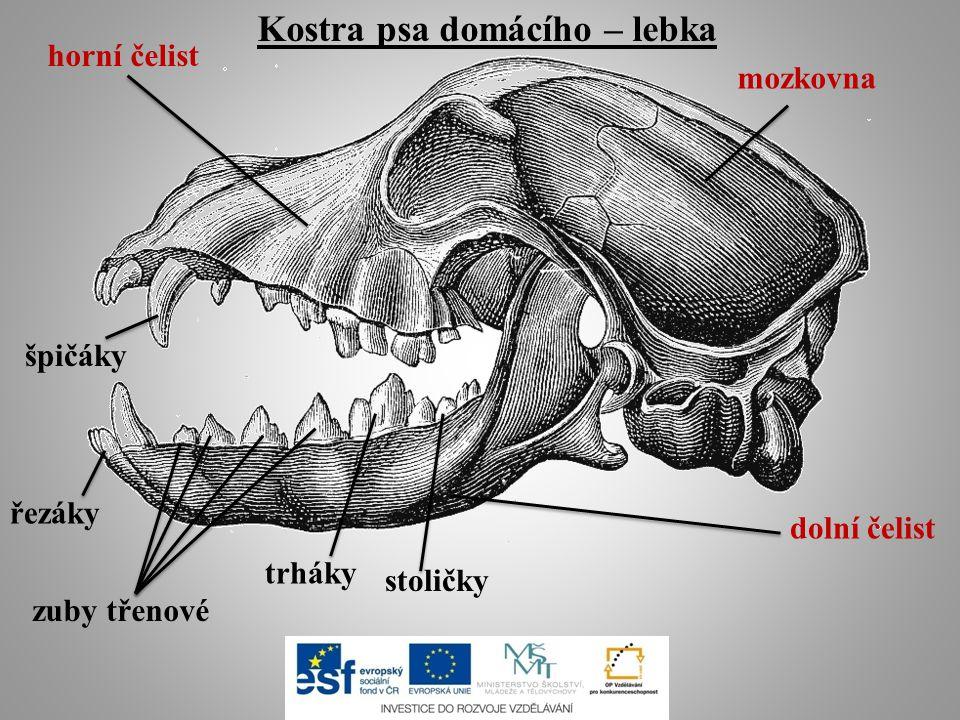 Kostra psa domácího – lebka mozkovna horní čelist dolní čelist řezáky špičáky zuby třenové trháky stoličky