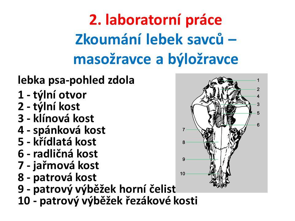 2. laboratorní práce Zkoumání lebek savců – masožravce a býložravce lebka psa-pohled zdola 1 - týlní otvor 2 - týlní kost 3 - klínová kost 4 - spánkov