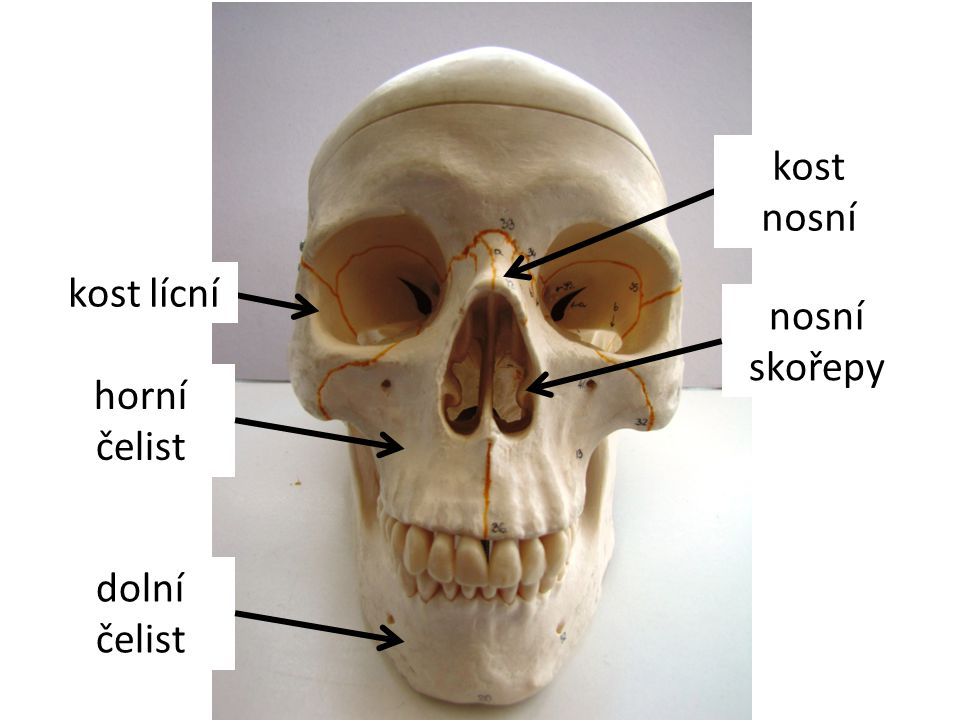 kost lícní horní čelist kost nosní nosní skořepy dolní čelist