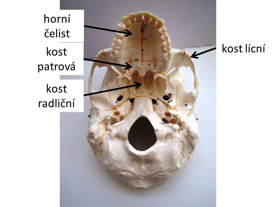 kost nosní kost slzní horní čelist dolní čelist kost lícní