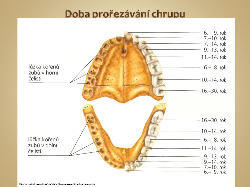http://www.latinsky.estranky.cz/img/mid/121/doba-prorezavani-trvaleho-chrupu.png.jpg