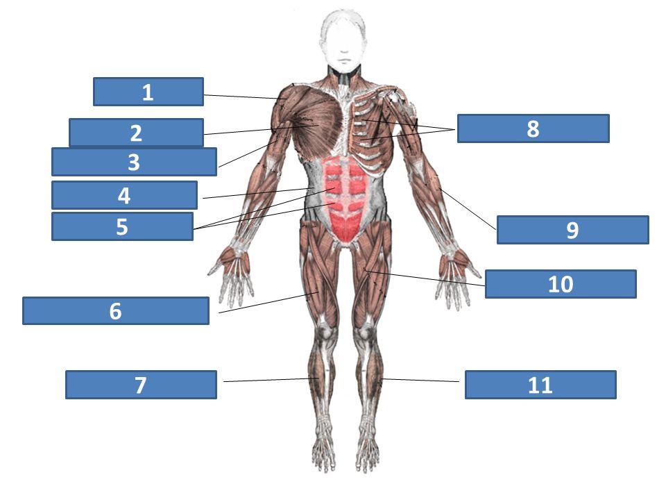 deltový sval velký prsní sval dvojhlavý sval pažní šikmé svaly břišní přímý sval břišní čtyřhlavý sval stehenní trojhlavý sval lýtkový krejčovský sval