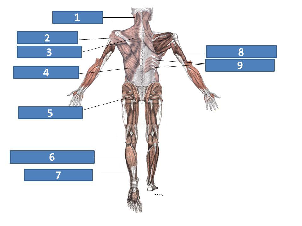 obr. 9 zdvihač hlavy trapézový sval deltový sval trojhlavý sval pažní široký sval zádový svaly hýžďové trojhlavý sval lýtkový Achillova šlacha mezižeb
