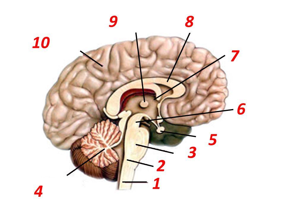 koncový mozek mozeček most prodloužená mícha mícha podvěsek mozkový mezimozek mozková komora mozkový vazník střední mozek 1 2 3 6 5 7 9 8 10 4