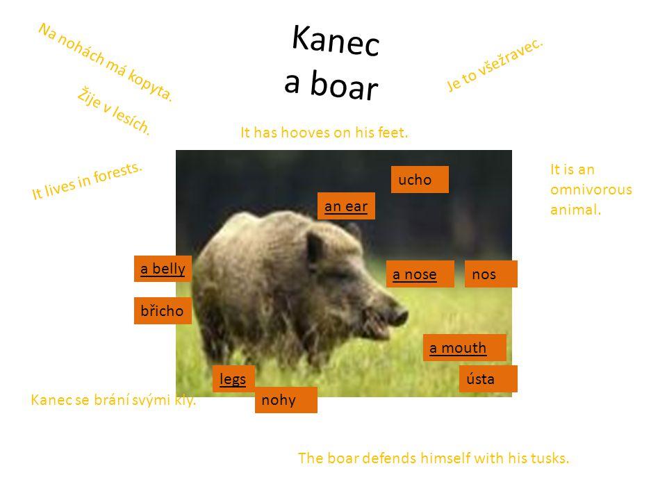 Kanec a boar an ear a nose legs a belly a mouth Kanec se brání svými kly. Na nohách má kopyta. Je to všežravec. Žije v lesích. The boar defends himsel