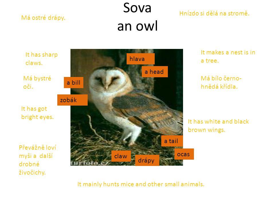 Sova an owl a head a tail a bill claw Má ostré drápy. Má bystré oči. Má bílo černo- hnědá křídla. Převážně loví myši a další drobné živočichy. Hnízdo