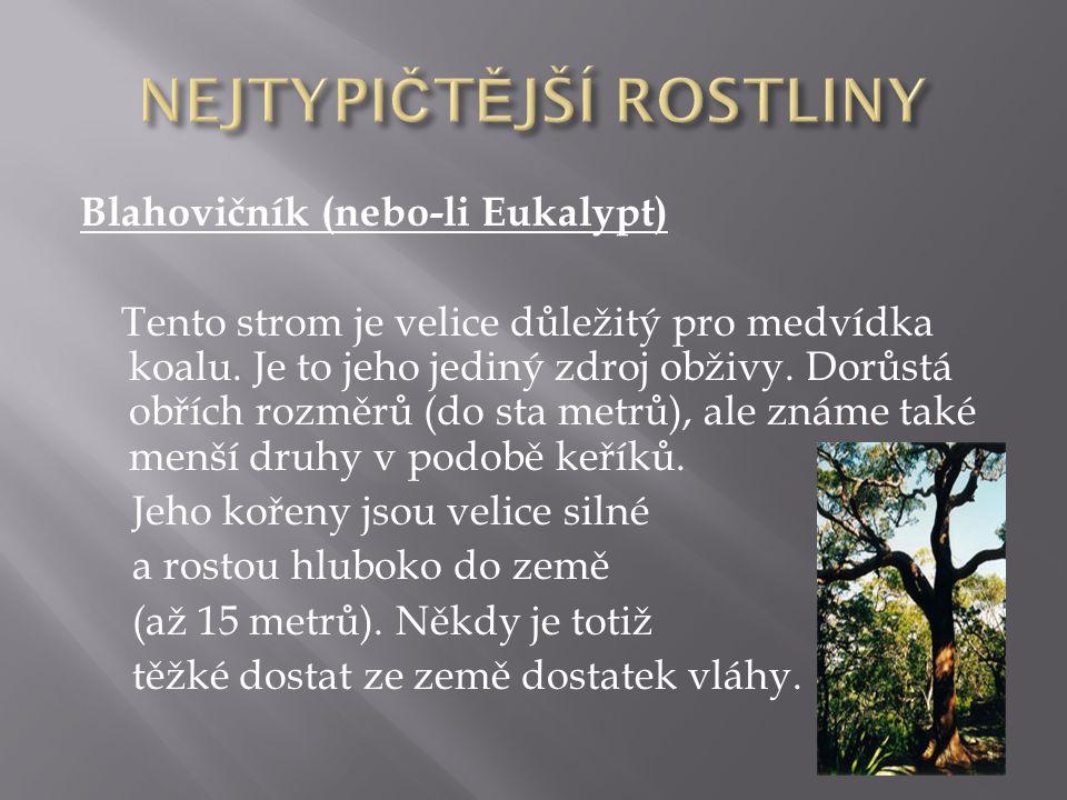 Blahovičník (nebo-li Eukalypt) Tento strom je velice důležitý pro medvídka koalu. Je to jeho jediný zdroj obživy. Dorůstá obřích rozměrů (do sta metrů