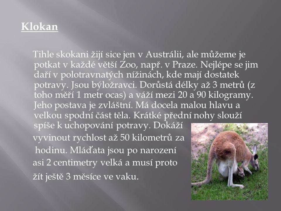 Klokan Tihle skokani žijí sice jen v Austrálii, ale můžeme je potkat v každé větší Zoo, např. v Praze. Nejlépe se jim daří v polotravnatých nížinách,