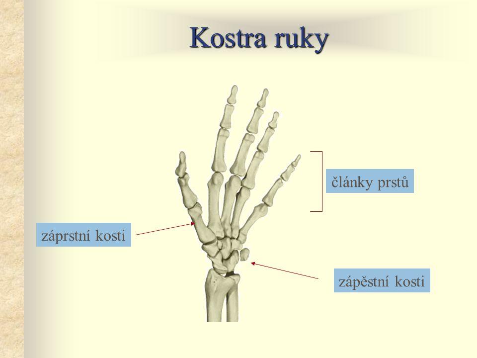 Pánev kost kyčelní jamka kyčelního kloubu kost stydká kost sedací kost křížová