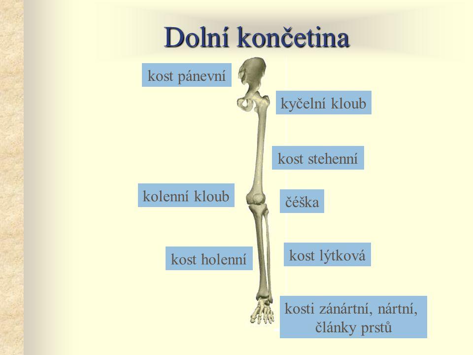 Dolní končetina kyčelní kloub kost pánevní kost stehenní kost holenní kost lýtková kolenní kloub čéška kosti zánártní, nártní, články prstů