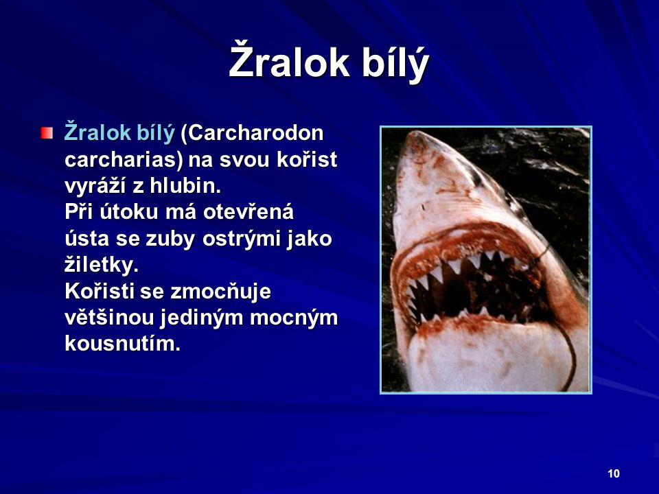 10 Žralok bílý Žralok bílý (Carcharodon carcharias) na svou kořist vyráží z hlubin. Při útoku má otevřená ústa se zuby ostrými jako žiletky. Kořisti s