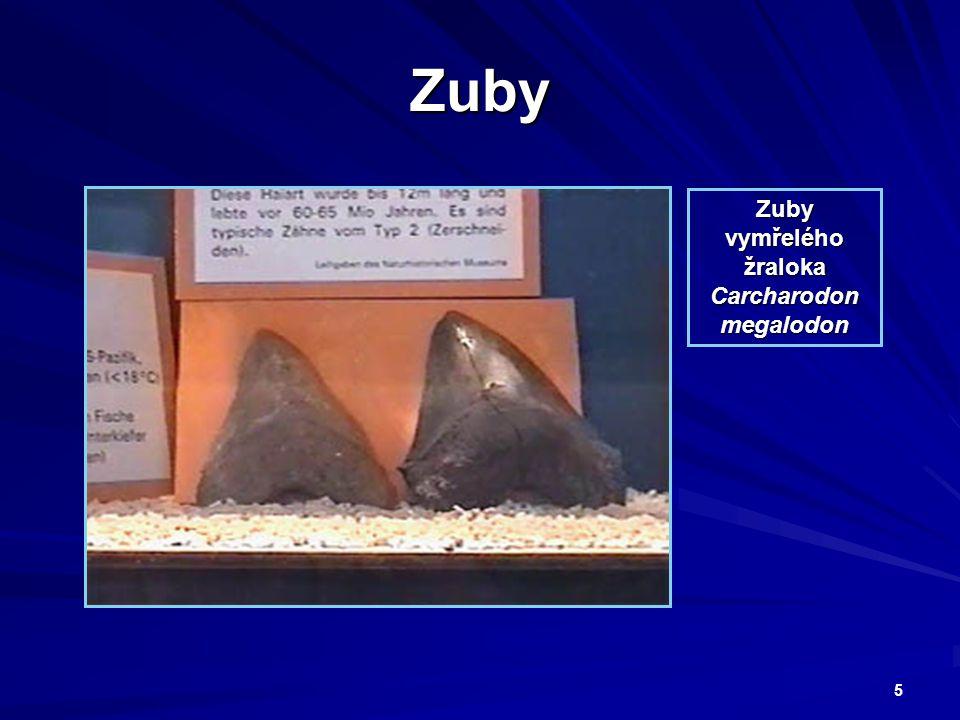 5 Zuby Zuby vymřelého žraloka Carcharodon megalodon