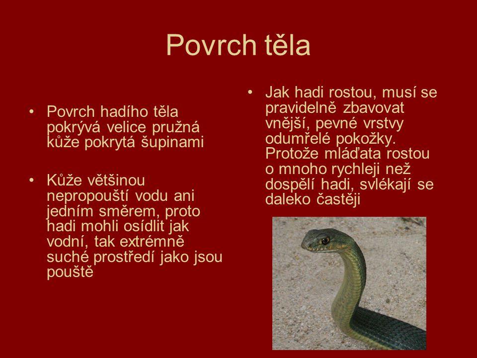 Povrch těla Povrch hadího těla pokrývá velice pružná kůže pokrytá šupinami Kůže většinou nepropouští vodu ani jedním směrem, proto hadi mohli osídlit
