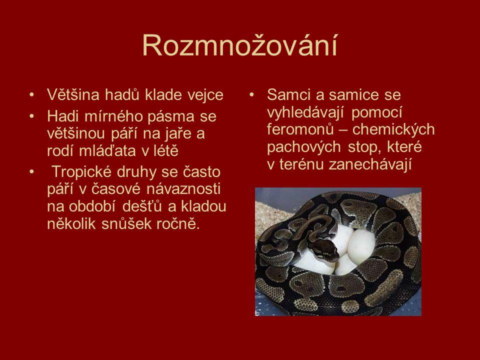 Rozmnožování Většina hadů klade vejce Hadi mírného pásma se většinou páří na jaře a rodí mláďata v létě Tropické druhy se často páří v časové návaznos