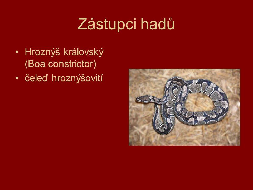 Zástupci hadů Hroznýš královský (Boa constrictor) čeleď hroznýšovití