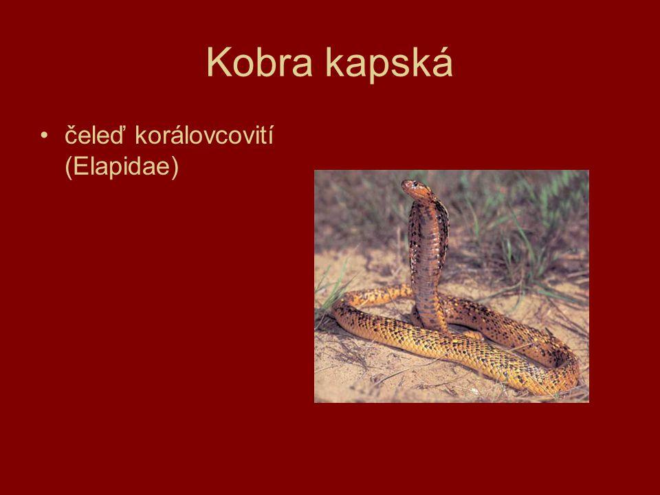 Kobra kapská čeleď korálovcovití (Elapidae)