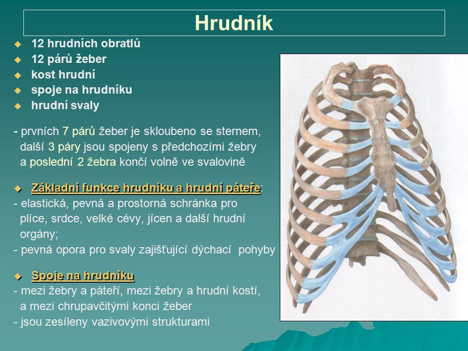 Hrudník   12 hrudních obratlů   12 párů žeber   kost hrudní   spoje na hrudníku   hrudní svaly - prvních 7 párů žeber je skloubeno se sterne