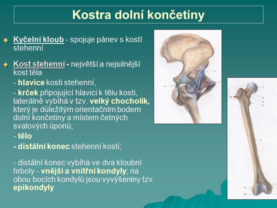 Kostra dolní končetiny   Kyčelní kloub - spojuje pánev s kostí stehenní  Kost stehenní  Kost stehenní - největší a nejsilnější kost těla - hlavice