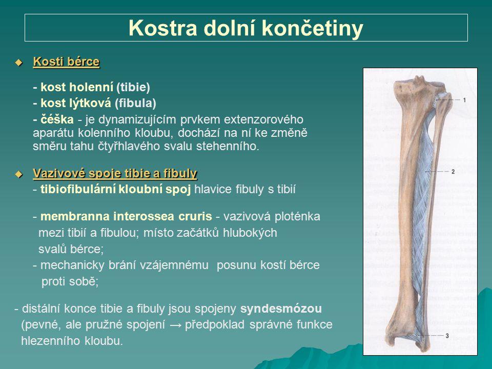 Kostra dolní končetiny  Kosti bérce - kost holenní (tibie) - kost lýtková (fibula) - čéška - je dynamizujícím prvkem extenzorového aparátu kolenního