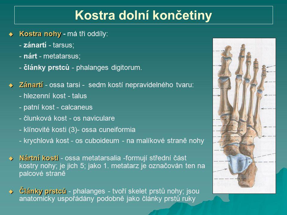 Kostra dolní končetiny  Kostra nohy  Kostra nohy - má tři oddíly: - zánartí - tarsus; - nárt - metatarsus; - články prstců - phalanges digitorum. 