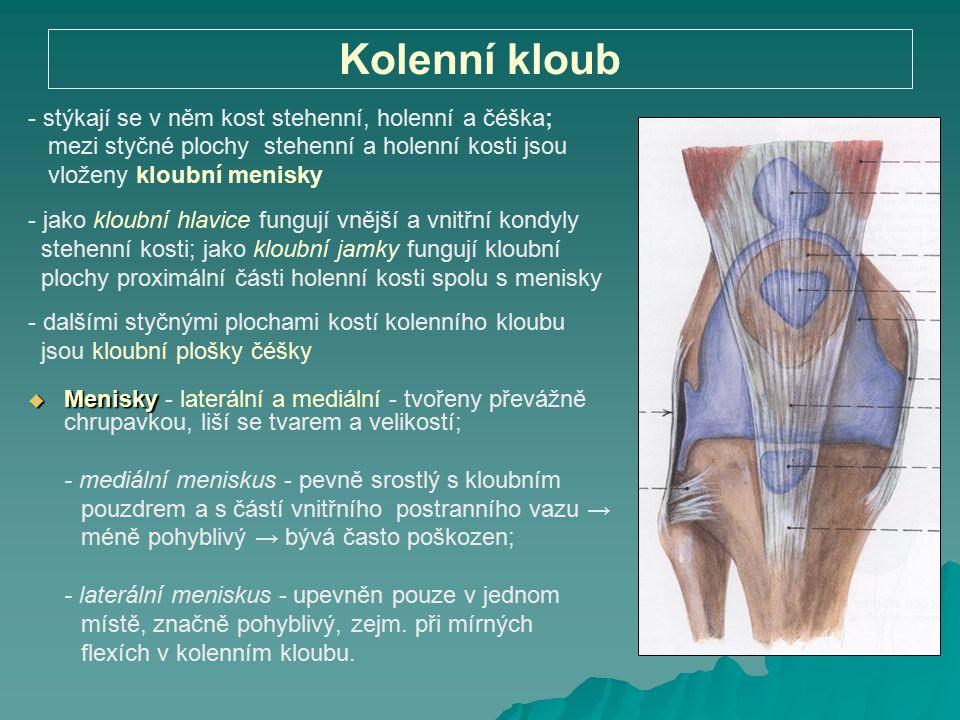 Kolenní kloub - stýkají se v něm kost stehenní, holenní a čéška; mezi styčné plochy stehenní a holenní kosti jsou vloženy kloubní menisky - jako kloub
