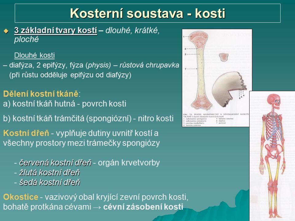 Kosterní soustava - kosti  3 základní tvary kostí  3 základní tvary kostí – dlouhé, krátké, ploché Dlouhé kosti – diafýza, 2 epifýzy, fýza (physis)