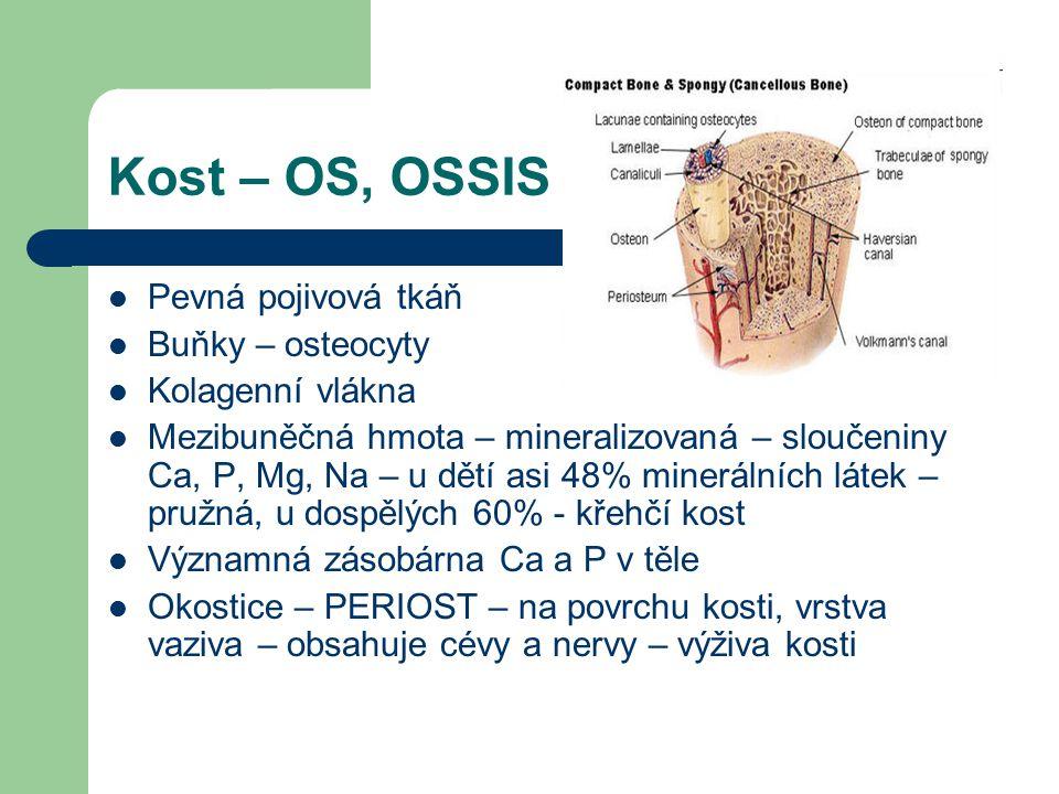 Kost – OS, OSSIS Pevná pojivová tkáň Buňky – osteocyty Kolagenní vlákna Mezibuněčná hmota – mineralizovaná – sloučeniny Ca, P, Mg, Na – u dětí asi 48% minerálních látek – pružná, u dospělých 60% - křehčí kost Významná zásobárna Ca a P v těle Okostice – PERIOST – na povrchu kosti, vrstva vaziva – obsahuje cévy a nervy – výživa kosti
