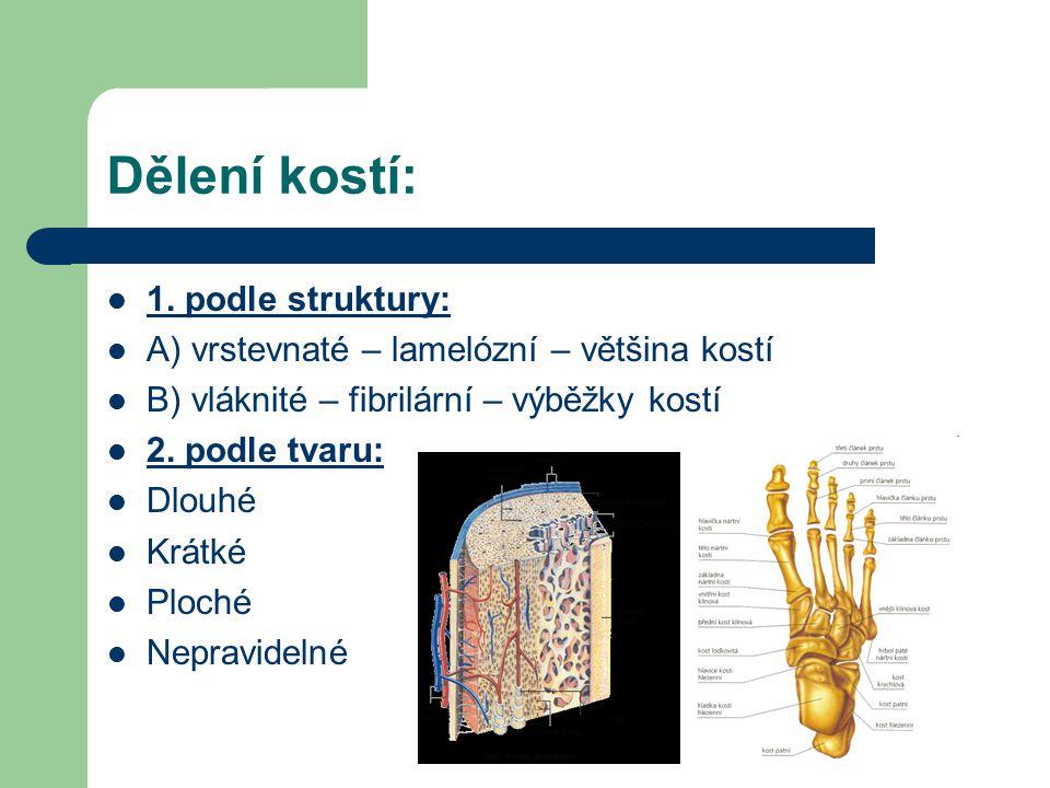 Dělení kostí: 1.