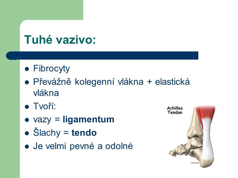 Tuhé vazivo: Fibrocyty Převážně kolegenní vlákna + elastická vlákna Tvoří: vazy = ligamentum Šlachy = tendo Je velmi pevné a odolné