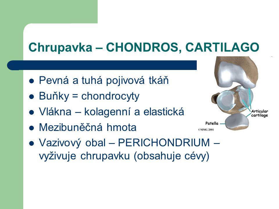 Chrupavka – CHONDROS, CARTILAGO Pevná a tuhá pojivová tkáň Buňky = chondrocyty Vlákna – kolagenní a elastická Mezibuněčná hmota Vazivový obal – PERICHONDRIUM – vyživuje chrupavku (obsahuje cévy)